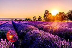 Image of a French lavender field.
